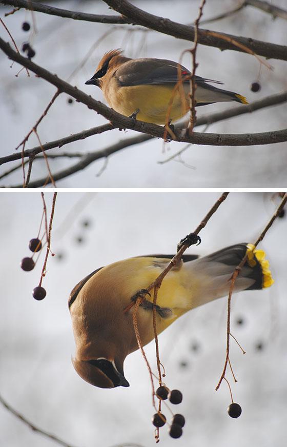 2YellowBirdies