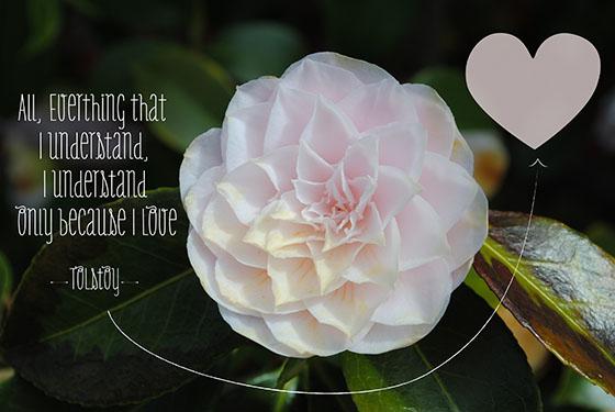 Tolstoy.rose copy